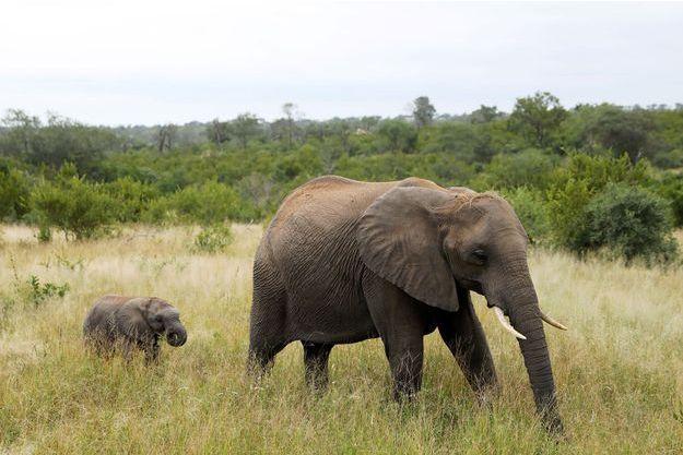 Deux éléphants en Afrique du Sud.