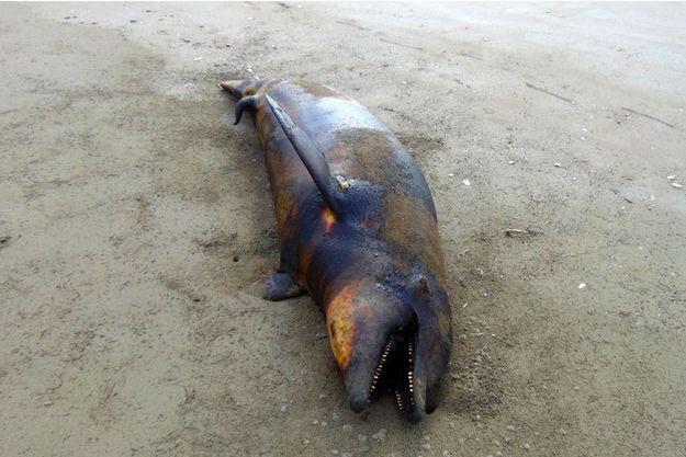 Illustration d'un dauphin mort.
