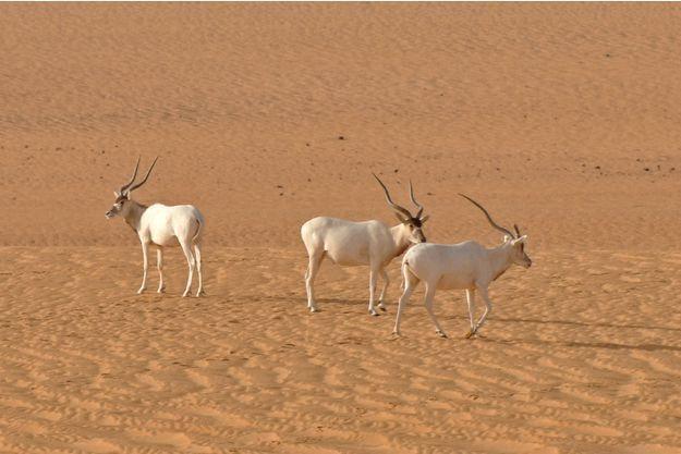 Trois addax photographiés à l'état sauvage au Niger en 2012 à la lisière des provinces reculées d'Agadez et de Diffa, en plein désert du Sahara.