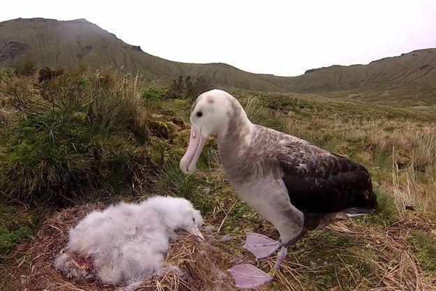 Une vidéo montre l'attaque nocturne de souris contre un bébé albatros.