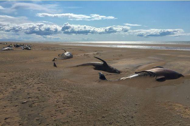 Les baleines pilotes sur le sable d'une plage d'Islande.