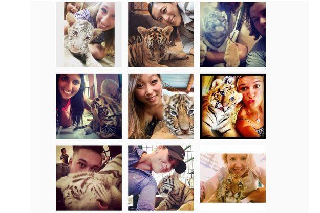 Des selfies pris avec des bébés tigres et publiés sur Instagram.