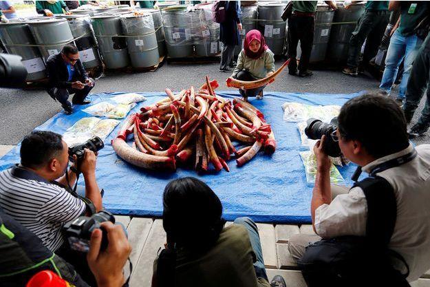 Quelques minutes avant l'incinération de l'ivoire en Malaisie.