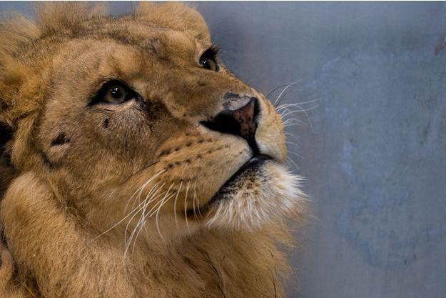 Le lion Nale, recueilli au premier zoo-refuge d'Europe.