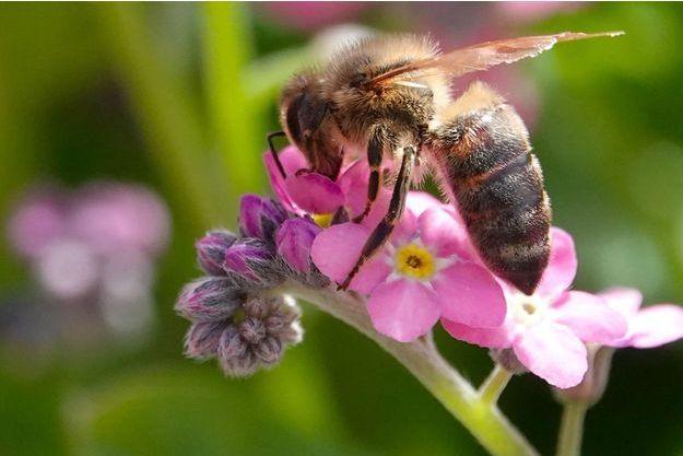 Une abeille dans un jardin botanique de Munich, en Allemagne.