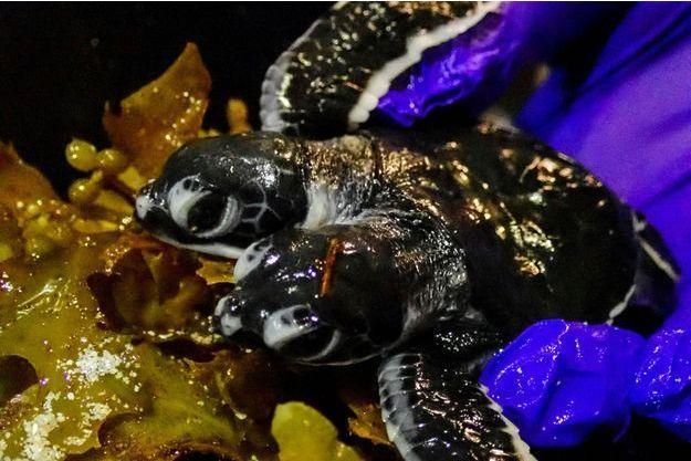 La tortue à deux têtes retrouvée en Malaisie.