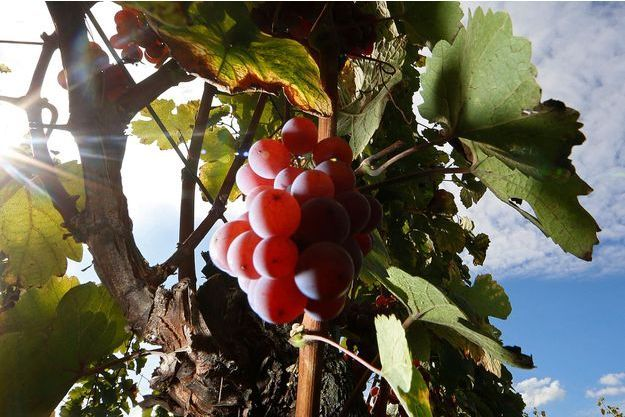 La vigne d'Orschwihr en Alsace