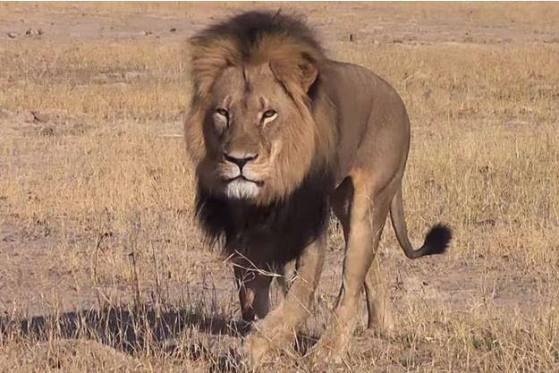 Cecil le lion à la crinière noire abattu ce mois de juillet.