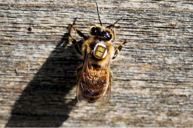 Des abeilles sont équipées d'une puce électronique par les chercheurs de l'Inra qui observent leurs parcours pendant plusieurs mois.