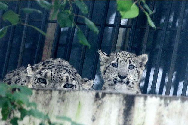 e8d1ac0d97747 Les derniers instants du léopard des neiges