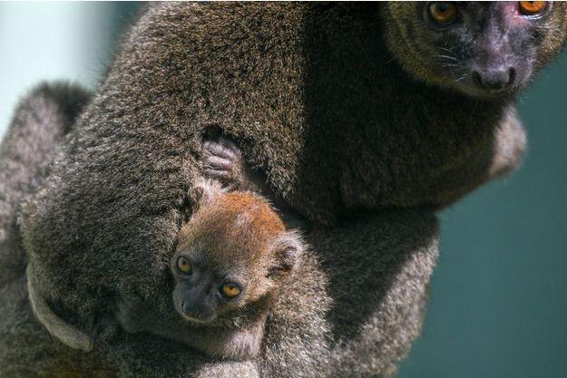 Le petit lémurien né à Besançon.