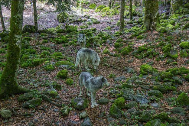 Des loups sauvages en Ariège.