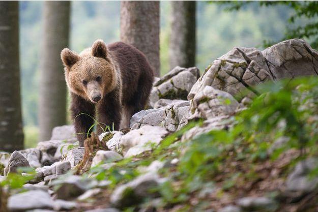 Un ours explore les forêts aux abords du village de Markovec, en Slovénie.