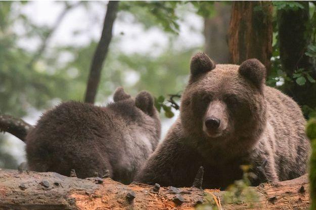 Deux ours en Slovénie.