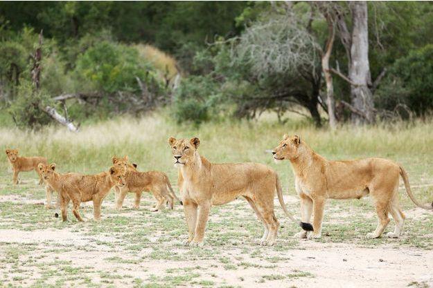 Une famille de lions au parc Kruger.
