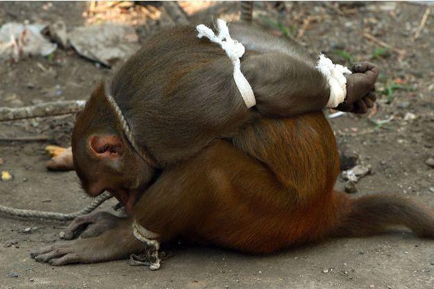 Un singe capturé à Bombay, en Inde.