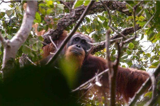 Un orang-outan de Tapanuli.