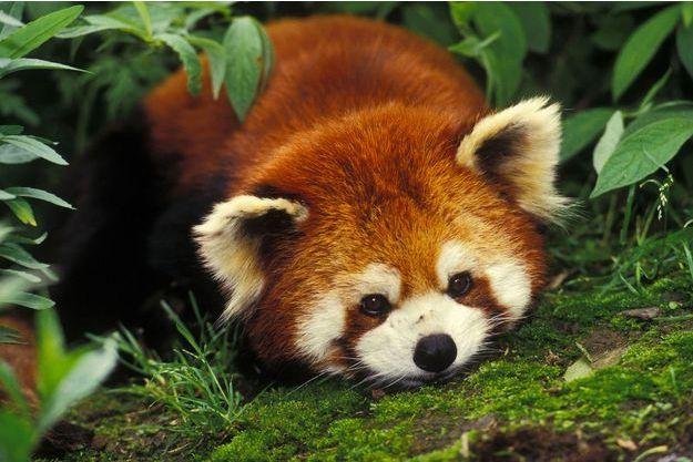 Illustration d'un panda roux;