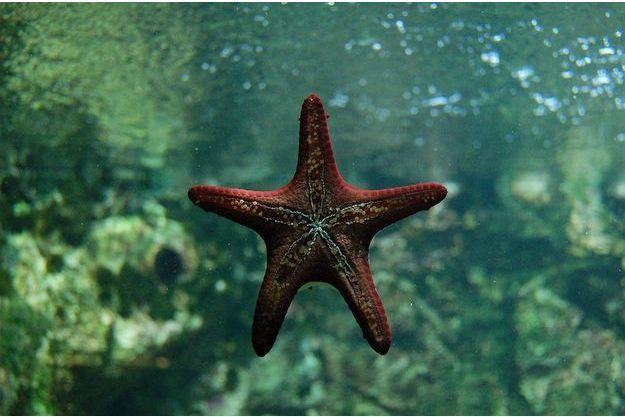 Entre 1 et 10 millions d'étoiles de mer seraient déjà mortes ces deux dernières années