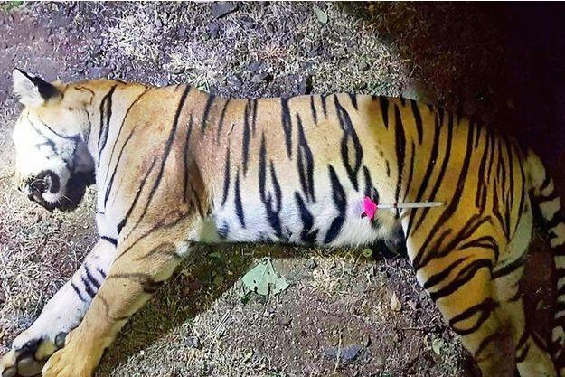 avni tigresse