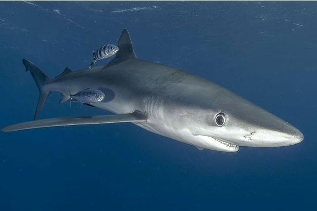 Un requin bleu (image d'illustration).