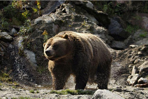 Un grizzly dans un zoo au Québec (image d'illustration).