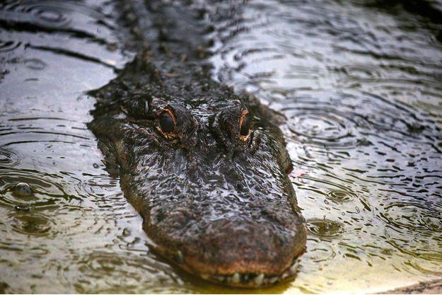 Un alligator en Floride.