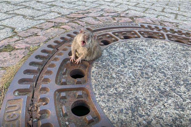 Le rat bloqué dans une bouche d'égout.