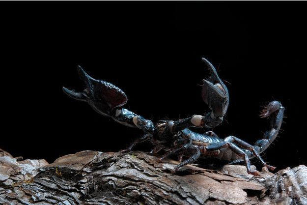 Photo d'illustration d'un scorpion
