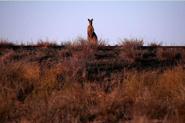 Photo d'illustration d'un kangourou en Australie