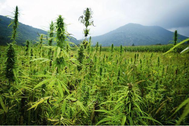 Dans l'Ouest américain, des plantations de chanvre de variétés diverses.