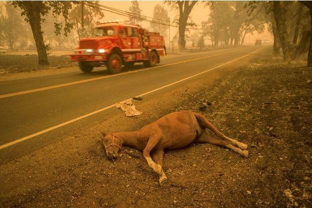 Près de Middletown, dans le nord de la Californie, un cheval mort sur le bord de la route 175 tué par la fumée des incendies.