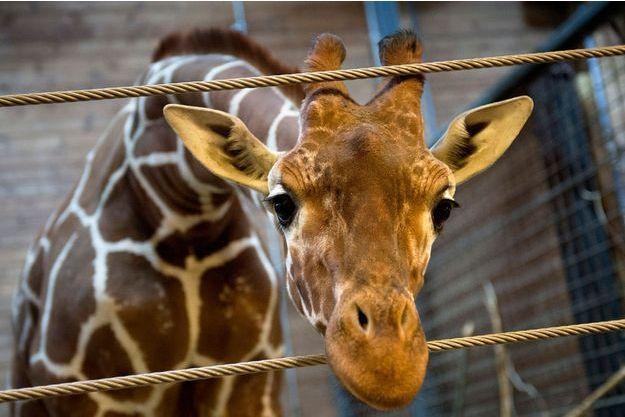 Marius, le girafon, a été tué dimanche.