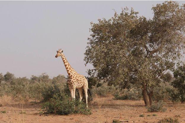 La région de Kouré à 60 kilomètres de Niamey abrite la dernière population de girafes du Niger et d'Afrique de l'Ouest