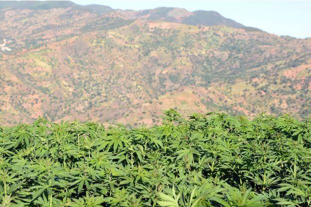 Champ de cannabis à Issaguen au Maroc.