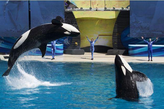 Le spectacle avec les orques va progressivement disparaître du parc SeaWorld.