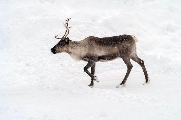 Un renne en Finlande.