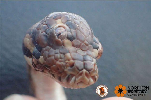 Le serpent à trois yeux découvert en Australie.