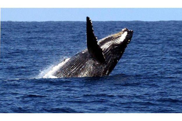 La chasse à la baline va pouvoir reprendre.