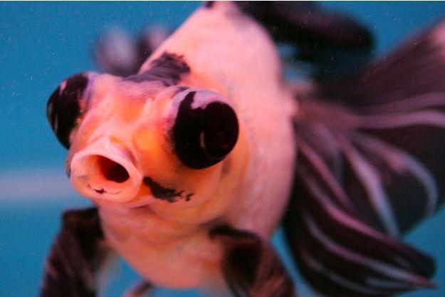 Un poisson japonais Panda de la famille des poissons rouges.