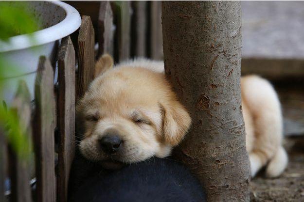 Le bébé labrador n'a pas besoin d'ouvrir les yeux pour vous faire craquer.
