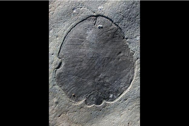 Un vestige de fossile de Dickinsonia.
