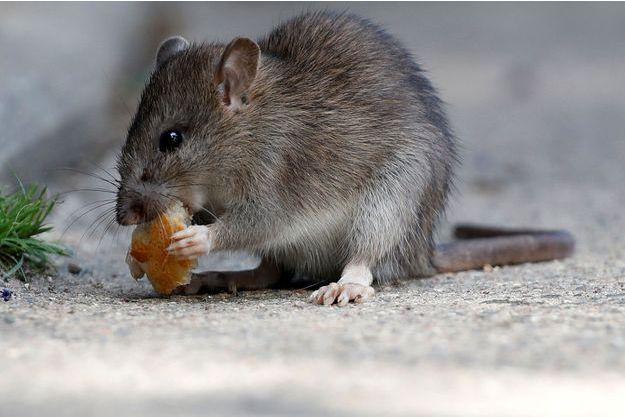 Un rat à Paris (image d'illustration).