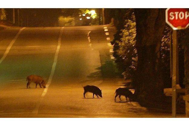 Dans le quartier de la Tour de Mare à Fréjus (Var). Trois sangliers s'offrent une virée nocturne.