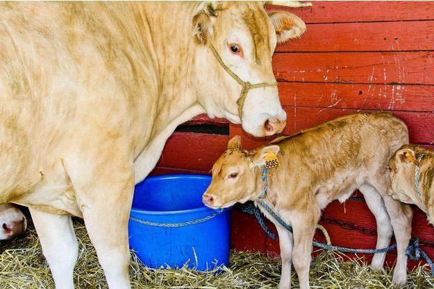 La ferme des 1000 veaux doit voir le jour dans la Creuse.