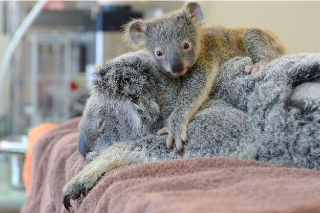 Phantom le petit koala accroché à Lizzy, sa mère.