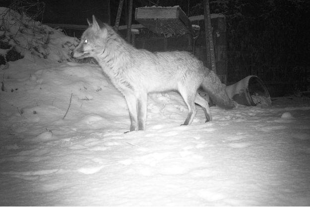 Un renard chassant de nuit.