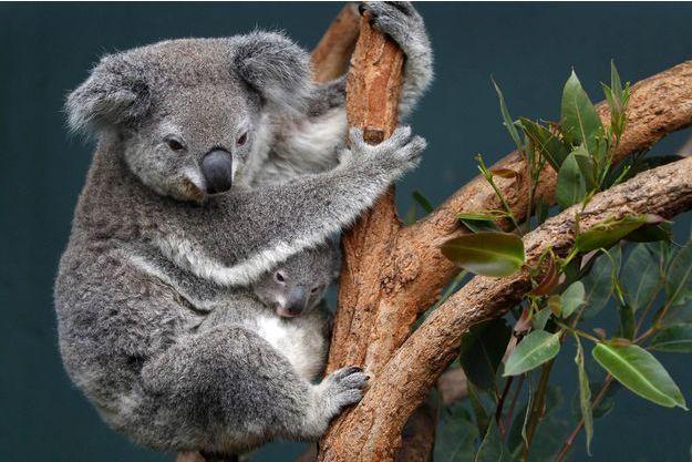 Un koala au Wildlife World de Sydney, en juin 2011.