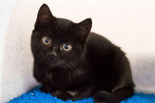Nuage étoilé (chat noir , plage brillant , yeux dorés )