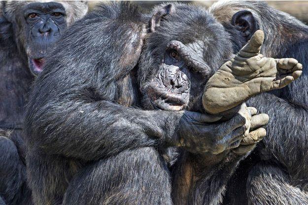 Des chimpanzés (photo d'illustration)